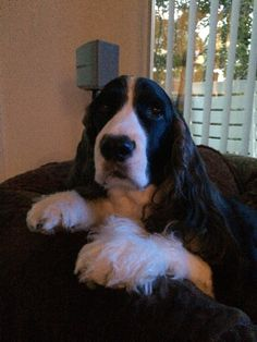 My little girl....LillyAnne. She's the best springer I've ever had. Such a doll baby. Lucky me!