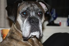 boxer dog photo | Recent Photos The Commons Getty Collection Galleries World Map App ...