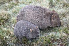 common wombat | Common Wombat - Mother and Joey