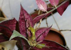aeschynanthus albidus  - Cerca con Google