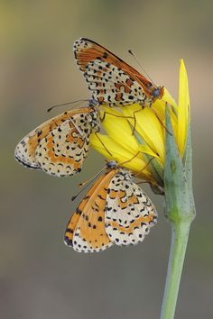 Black speckled dots on orange and white wings