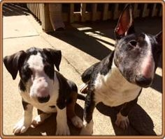 Goldies Bull Terrier Home Page