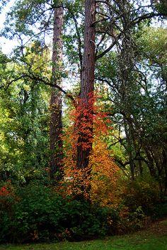 Hap Murphy  , Poison oak in the fall ... Oregon 2013
