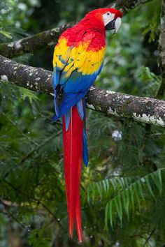 Rainforest Animals Pictures=Rainforest animals and plants picture and food chain here All Birds, Cute Birds, Pretty Birds, Beautiful Birds, Animals Beautiful, Colorful Parrots, Colorful Birds, Tropical Birds, Exotic Birds