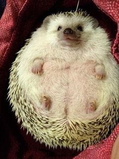 Regina, the world's largest hedgehog, won awards, broke hearts, and basically saved the world. | The 50 Cutest Things That Happened This Year