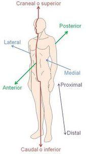 Resultado de imagem para planos anatomicos de movimiento