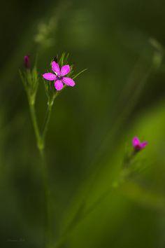 Deptford Pink Photograph  - Deptford Pink Fine Art Print