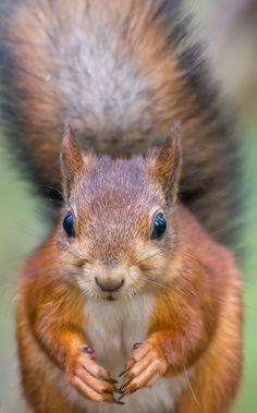 Red squirrel by Hannu Rämä on 500px
