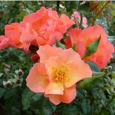 Summer Wine Rose: Climbers, ramblers and scramblers, 1958, continuous flowering, some scent, tolerate small amount of shade, some thorns, attracts bees. Soft coral pink blooms with yellow centre, red anthers and filaments.