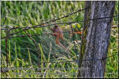 marmotte araignée