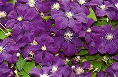 Flowering Clematis All SummerLong - Journal - Garden Design, Perennial Flower Gardening, Gardening Tips, Gardening Advice, Gardening Book Reviews