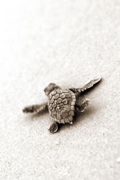 Cutest baby turtle on the way to water.                                                                                                                                                                                 More