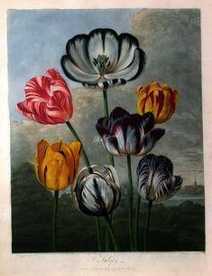 Vintage Variegated Tulip Flowers in a Landscape Poster - antique gifts stylish cool diy custom Vintage Illustration Art, Botanical Illustration, Nature Sketch, Plant Art, Tulips Flowers, Fruit Art, Botanical Prints, Vintage Flowers, Flower Art
