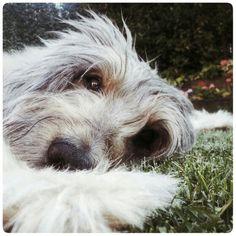 Lur pastor catalan gos d'atura gosdatura dog