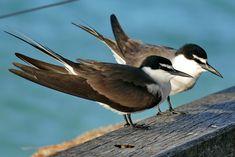 Vogelpärchen auf Heron Island - die Insel der vielen Vögel Great Barrier Reef, Island, Heron, Animals, Snorkeling, Travel Report, Travel, Animales, Animaux