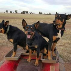 Dog Breeds The Australian kelpie: New book looks at mysterious origins of world-famous working dog - ABC News (Australian Broadcasting Corporation) - A new book claims to have found some vital answers to the mysterious ancestry of the Australian kelpie. West Highland Terrier, Scottish Terrier, Australian Shepherd Züchter, Rottweiler, I Love Dogs, Cute Dogs, Husky, Herding Dogs, Dog Harness