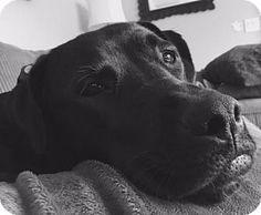 Seattle, WA - Labrador Retriever/Boxer Mix. Meet Maggie - High Energy Fun Girl, a dog for adoption. http://www.adoptapet.com/pet/17899784-seattle-washington-labrador-retriever-mix