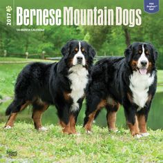The big, beautiful Bernese Mountain Dog hails from Switzerland. Bred for heavy farm work in harsh alpine conditions, these sweet, smart, and gentle dogs make wonderful family companions. Steady and fr