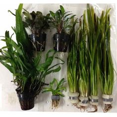 "Aquarium Plant Collection for 24"" Jungle Style Tank Buy Online"