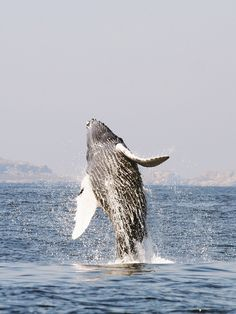 Whale Watching in Riviera Nayarit is certainly amongst the most popular seasonal attractions to the area.