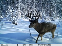 Wizard Lake Outfitting Photo Gallery: Alberta Trail Camera Pictures » Whitetail Deer 2013