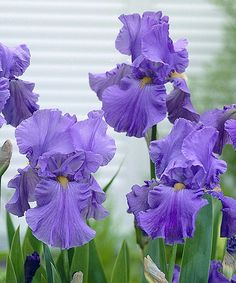 Look what I found on #zulily! Sugar Blues German Iris - Set of Two by Cottage Farms Direct #zulilyfinds