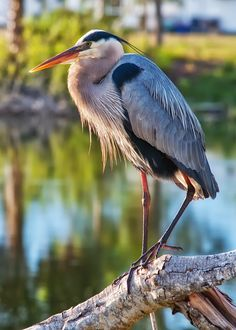 Those of us who live and work on the Rappahannock River and elsewhere in teh Chesapeake Bay Watershed are not stranger to the sentinel-like blue herons. Great Blue Heron photo by Thomas Alexander.    www.christchurchschool.org