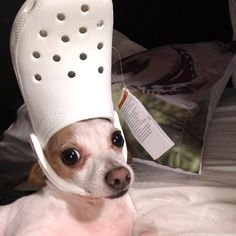 His Holiness The Pope: Pets With Crocs Hats - I Can Has Cheezburger? Cute Cat Memes, Cute Animal Memes, Cute Funny Animals, Funny Dog Faces, Funny Cats And Dogs, Meme Faces, Crocs, Cute Puppies, Cute Dogs