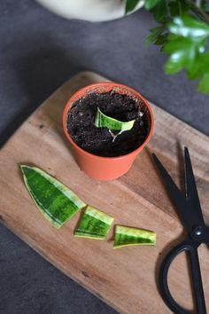 More Plants foroka svarmorstunga Growing Succulents, Growing Plants, Planting Succulents, Planting Flowers, Fruit Plants, Potted Plants, Garden Plants, Indoor Plants, Plant Cuttings