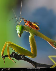 Mantis with a brave hitchhiker.