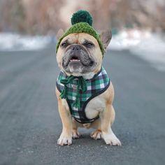 Vêtement pour bouledogue français, Suivez nous sur notre page facebook. Blue Brindle French Bulldog, Cute French Bulldog, French Bulldogs, Cute Puppies, Cute Dogs, Dogs And Puppies, Doggies, Animals And Pets, Cute Animals