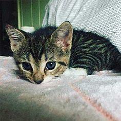 Malvern, Pennsylvania - American Shorthair. Meet Daisy, a for adoption. https://www.adoptapet.com/pet/20290584-malvern-pennsylvania-cat
