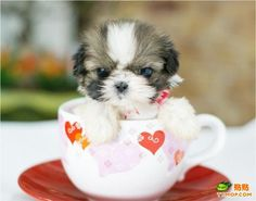 Oh my goodness! Talk about a teacup shih tzu. Although this one looks more like a soup mug shih tzu. Tiny Puppies, Teacup Puppies, Little Puppies, Cute Dogs And Puppies, Little Dogs, Doggies, Teacup Shih Tzu, Adorable Puppies, Corgi Puppies