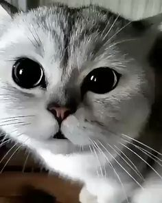 Funny animals cute cats 67 New ideas Funny Cute Cats, Cute Cat Gif, Cute Cats And Kittens, Cool Cats, Kittens Cutest, Kitty Cats, Baby Kitty, Sleepy Kitty, Ragdoll Kittens