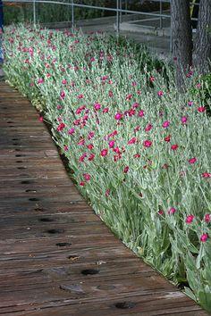 Lychnis coronaria timber plank path