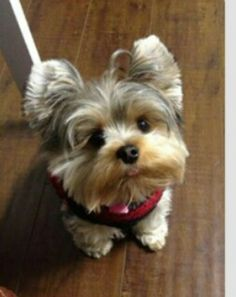 The Popular Pet and Lap Dog: Yorkshire Terrier - Champion Dogs Cute Puppies, Cute Dogs, Dogs And Puppies, Yorkies, Perros Yorkshire Terrier, Baby Animals, Cute Animals, Animals Images, Yorshire Terrier