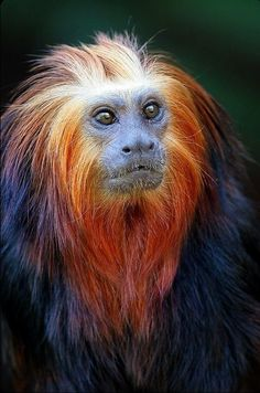 Golden Lion Tamarin aka Mico Leão is native to the Atlantic coastal forests of Brazil, the golden lion tamarin is an endangered species.The golden lion tamarin is active for a maximum of 12 hours daily. Primates, Mammals, Rare Animals, Animals And Pets, Beautiful Creatures, Animals Beautiful, Pretty Animals, Golden Lion Tamarin, Regard Animal