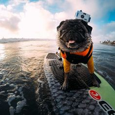 Photo of the Day! @brandy the pug is an OG on the #surfboard, so it's no surprise she's rocking the original #HERO 35mm! #GoPro #GoProPets #Surf #dogsofinstagram #surfingdogs #pugs #pugsofinstagram #PugLife #L4L #adventure #action