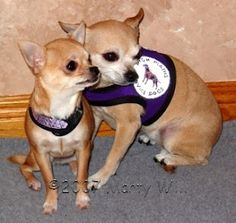 Chihuahua Service Dogs- melt my heart! I keep trying to convince my mom to use my babies as her service dog, but to no avail!