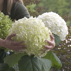 Hydrangea, Incrediball, Hydrangea arborescens Abetwo Grows on new wood and is feetIncrediball Hydrangea arborescens - ft, supposedly stronger and bigger blooms but also might need more sunHydrangea arborescens Incrediball™ is available for online p Incrediball Hydrangea, Hortensia Hydrangea, Hydrangea Tree, Hydrangea Bloom, Hydrangea Paniculata, Outdoor Plants, Garden Plants, Outdoor Gardens, Hydrangea Annabelle