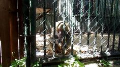 We girls... the Baboon in her cage enclousre...
