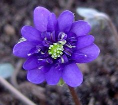 Hepatica-japonica-Kagura-327.jpg (526×472)