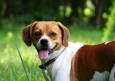 Tonka -- Angel Dogs, Inc. (Richmond, VA) boxer beagle mix