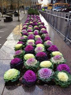 Decorative cabbage flowering containers and flower beds to deep frostCalifornia decor ideas Create comfort together is part of Ornamental cabbage If you have never heard of decorative cabbage, t - Succulents Garden, Garden Plants, Planting Flowers, Flowers Garden, Beautiful Gardens, Beautiful Flowers, Beautiful Beds, Cabbage Flowers, Cabbage Plant
