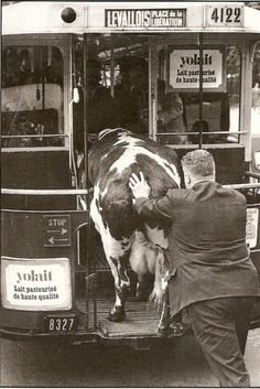 Confusion - Henri Roger-Viollet? or Robert Doisneau? - Comment faire entrer une vache dans un bus (How do you get a cow in a bus)? Paris, France, 1952. S)