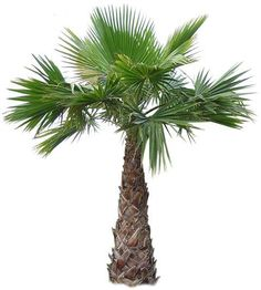 Medium size palm tree. Indigenous plants.