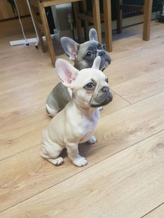 Baby frenchies French Bulldog Puppies