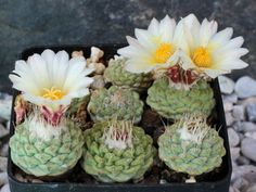 Strombocactus disciformis is a rare cactus with strong, turnip-like root and small, sunken, roughly spherical stem covered with spirally. Cacti And Succulents, Cactus Plants, Cactus Flower, Flower Pots, New Growth, Painted Pots, Potting Soil, Early Spring, Amazing Flowers