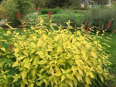 Sauge ananas (Salvia elegans 'Golden Delicious'), Jardin des Plantes, Paris 5e (75)