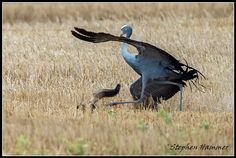 An interesting encounter between blue cranes and a Cape fox family in Cape Town. Blue Jay, Crane, South Africa, Fox, Bird, Animals, Animales, Animaux, Birds